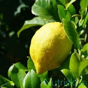 limunovo drvo